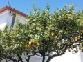 Zitronenbäume en masse in Portugal