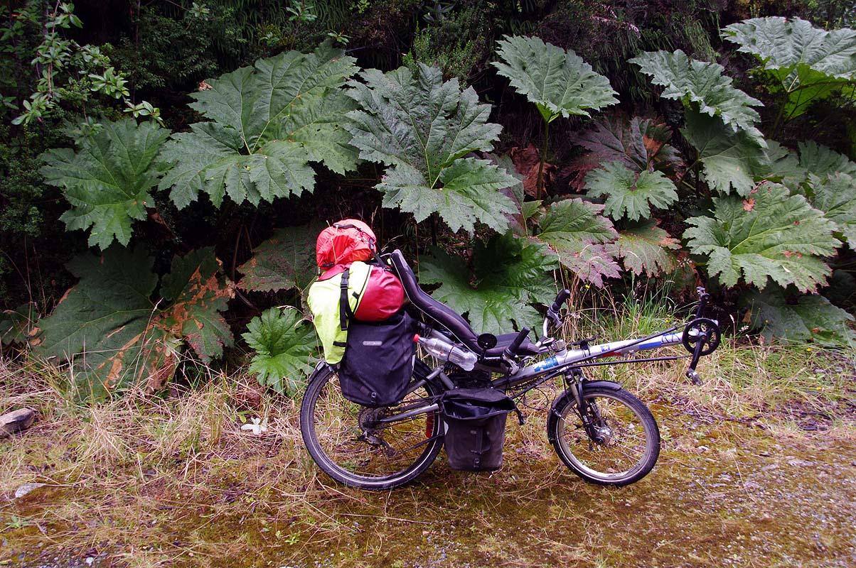 Übergroßer Rabarber im feucht-kalten Regenwald