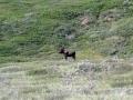 Moose (Elchart)