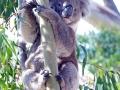 Einige wilde Koalas sahen wir auf dem Weg Richtung Adelaide