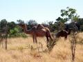 Kamel (leider kein Wildes)