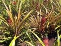 Ananasfarm von Dole