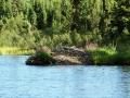 Biberbau am Gravel Lake