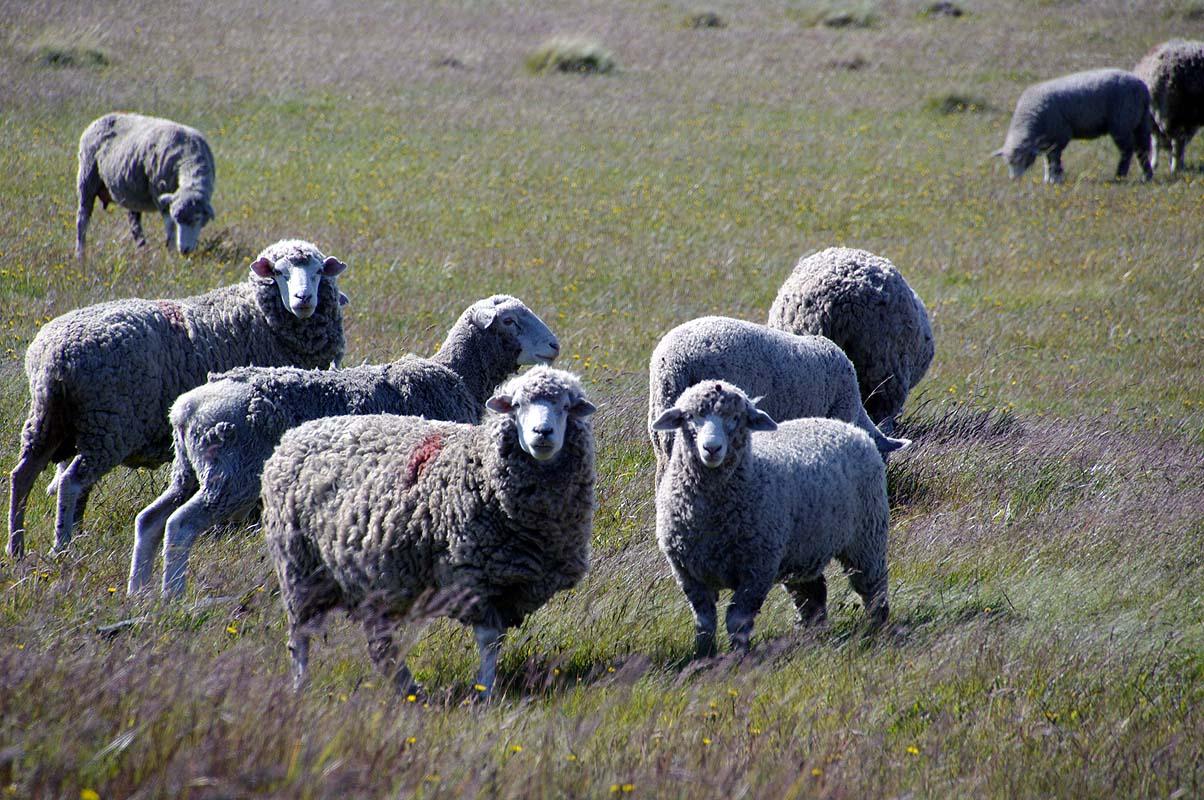 DAS Nutztier überhaupt auf Feuerland und Patagonien