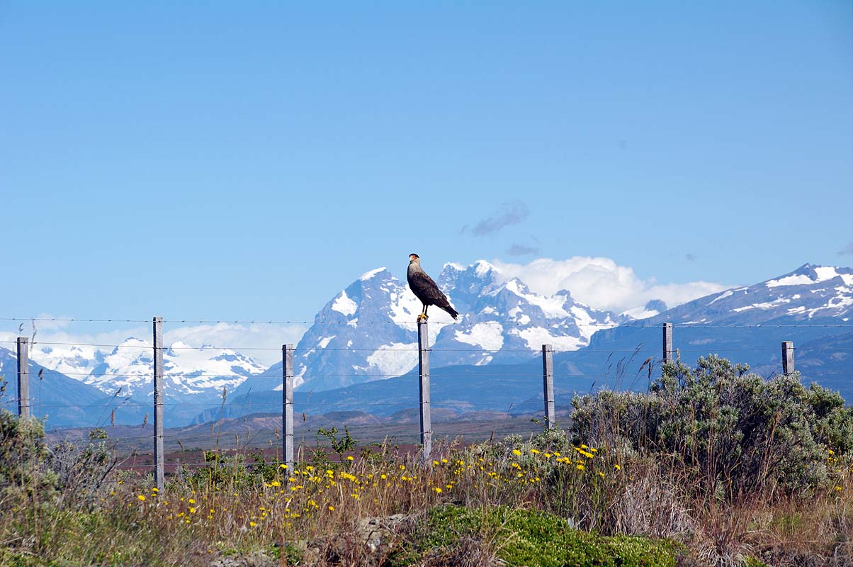 Schopfkarakara vor Andenpanorama nahe Puerto Natales