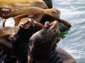 Seelöwen nach Astoria