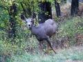 Häufig sahen wir mutiges Rotwild in Montana
