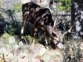 Wiederholt sehr zutrauliches Rotwild im Zion NP